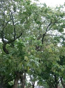 Sapindus Mukorossi (Waschnussbaum)